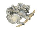 Koala (Phascolarctos Cinereus), Marsupial, Mammals Billeder af Encyclopaedia Britannica