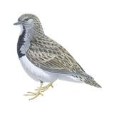 Least Seedsnipe (Thinocorus Rumicivorus), Birds Affiches