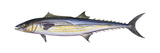 King Mackerel (Scomberomorus Cavalla), Fishes Posters by  Encyclopaedia Britannica