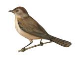 Nightingale (Luscinia Megarhynchos), Birds Photo by  Encyclopaedia Britannica