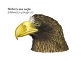 Head of Steller's Sea Eagle (Haliaeetus Pelagicus), Birds Posters by  Encyclopaedia Britannica