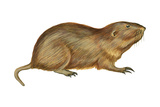 Plains Pocket Gopher (Geomys Bursarius), Mammals Prints by  Encyclopaedia Britannica