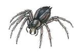 Grass Spider (Agelenopsis), Arachnids Print by  Encyclopaedia Britannica
