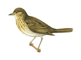 Olive-Backed Thrush (Catharus Ustulatus), Birds Posters par  Encyclopaedia Britannica