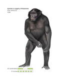 Male Bonobo or Pygmy Chimpanzee (Pan Paniscus), Ape, Mammals Stretched Canvas Print by  Encyclopaedia Britannica