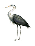 Great Blue Heron (Ardea Herodias), Birds Posters by  Encyclopaedia Britannica