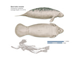 West Indian Manatee (Trichechus Manatus), Mammals Stretched Canvas Print by  Encyclopaedia Britannica