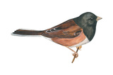 Oregon Junco (Junco Hyemalis Oreganus), Birds Reproduction sur métal par  Encyclopaedia Britannica
