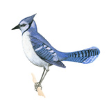Blue Jay (Cyanocitta Cristata), Birds Prints by  Encyclopaedia Britannica