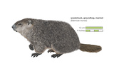 Marmot (Marmota Monax), Groundhog, Woodchuck, Mammals Posters by  Encyclopaedia Britannica