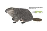 Marmot (Marmota Monax), Groundhog, Woodchuck, Mammals Posters