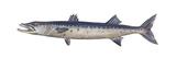 Great Barracuda (Sphyraena Barracuda), Fishes Posters van  Encyclopaedia Britannica