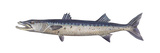 Great Barracuda (Sphyraena Barracuda), Fishes Prints by  Encyclopaedia Britannica