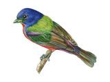 Painted Bunting (Passerina Ciris), Birds Reproduction sur métal par  Encyclopaedia Britannica