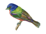 Painted Bunting (Passerina Ciris), Birds Prints by  Encyclopaedia Britannica
