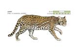 Ocelot (Felis or Lepardus, Pardalis), Cat, Mammals Posters by  Encyclopaedia Britannica