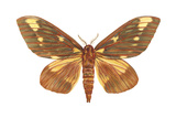 Regal Moth (Citheronia Regalis), Insects Prints by  Encyclopaedia Britannica