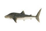 Whale Shark (Rhincodon Typus), Fishes Poster by  Encyclopaedia Britannica