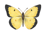 Common Sulphur Butterfly (Colias Philodice), Insects Posters by  Encyclopaedia Britannica