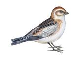 Snow Bunting (Plectophenax Nivalis), Birds Reproduction sur métal par  Encyclopaedia Britannica