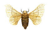 Silkworm Moth (Bombyx Mori), Chinese Silkworm, Insects Print by  Encyclopaedia Britannica