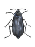 Carrion Beetle (Silpha Ramosa), Insects Posters by  Encyclopaedia Britannica