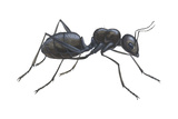 Carpenter Ant (Camponotus Pennsylvanicus), Insects Poster