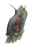 Wall Creeper (Tichodroma Muraria), Birds Posters