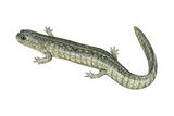 Small-Mouthed Salamander (Ambystoma Texanum), Amphibians Posters by  Encyclopaedia Britannica