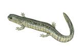 Small-Mouthed Salamander (Ambystoma Texanum), Amphibians Posters