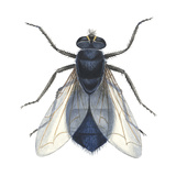 Bluebottle Fly (Calliphora Erythrocephala), Insects Prints by  Encyclopaedia Britannica