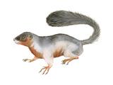 Prevost's Squirrel (Callosciurus Prevosti), Tricolored, Squirrel, Mammals Poster