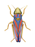 Red-Banded Leafhopper (Graphocephala Coccinea), Insects Posters by  Encyclopaedia Britannica