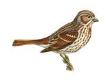 Fox Sparrow (Passerella Iliaca), Birds Stretched Canvas Print by  Encyclopaedia Britannica