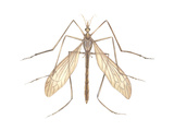 Crane Fly (Tipula Trivittata), Insects Poster by  Encyclopaedia Britannica
