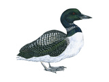 Common Loon (Gavia Immer), Birds Affiche par  Encyclopaedia Britannica