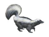 Striped Skunk (Mephitis Mephitis), Mammals Posters