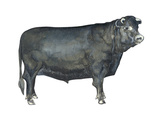 Beef Cattle (Bos Taurus), Mammals Prints
