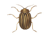 Colorado Potato Beetle (Leptinotarsa Decemlineata), Insects Prints by  Encyclopaedia Britannica