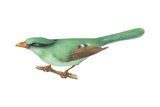 Green Magpie (Cissa Chinensis), Birds Print by  Encyclopaedia Britannica