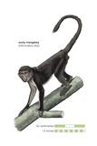 Sooty Mangabey (Cercocebus Atys), Monkey, Mammals Print