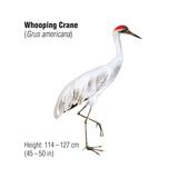 Whooping Crane (Grus Americana), Birds Prints by  Encyclopaedia Britannica