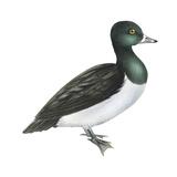 Ring-Necked Duck (Aythya Collaris), Birds Stretched Canvas Print by  Encyclopaedia Britannica