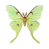 Luna Moth (Actias Luna), Insects Print by  Encyclopaedia Britannica