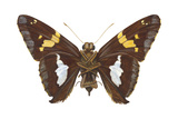 Skipper Butterfly - Underside (Epargyreus Clarus), Silver-Spotted Skipper, Insects Posters by  Encyclopaedia Britannica