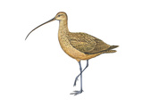 Long-Billed Curlew (Numenius Americanus), Birds Print