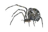 American House Spider (Parasteatoda Tepidariorum), Arachnids Photo