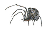American House Spider (Parasteatoda Tepidariorum), Arachnids Photo by  Encyclopaedia Britannica