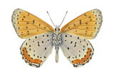 Bronze Copper Butterfly - Underside (Heodes Thoe), Insects Photo by  Encyclopaedia Britannica