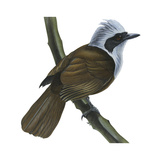 White-Crested Laughing Thrush (Garrulax Leucolophus), Birds Affiche